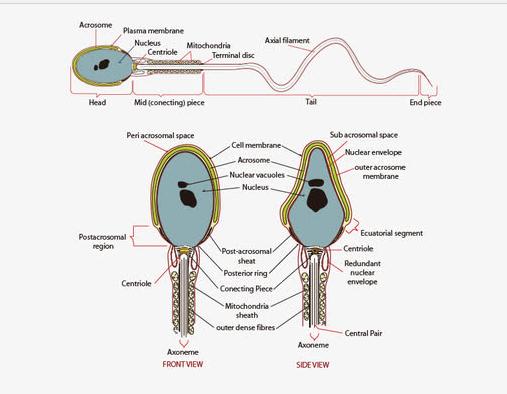 精子DNA损伤是否影响早期胚胎发育?